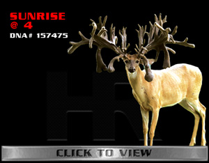 Sunrise - TX Whitetail Buck bred by James Butler at High Roller Whitetails - Center Texas